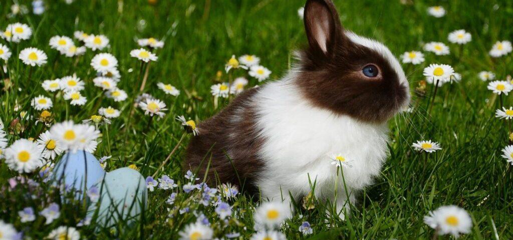 animal-bright-bunny-chamomile